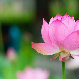 hoa sen lotus flower